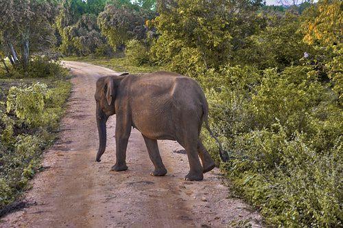 elefante uda walawe