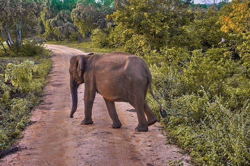 elefantes uda walawe