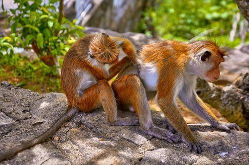 monos mihintale