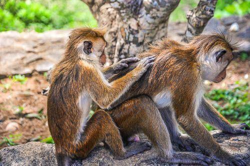 monos sri lanka