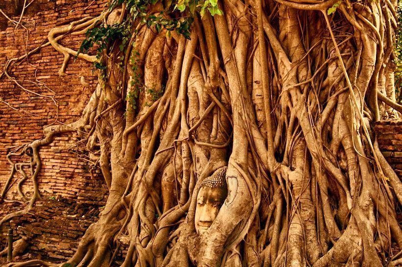 cabeza arbol ayutthaya