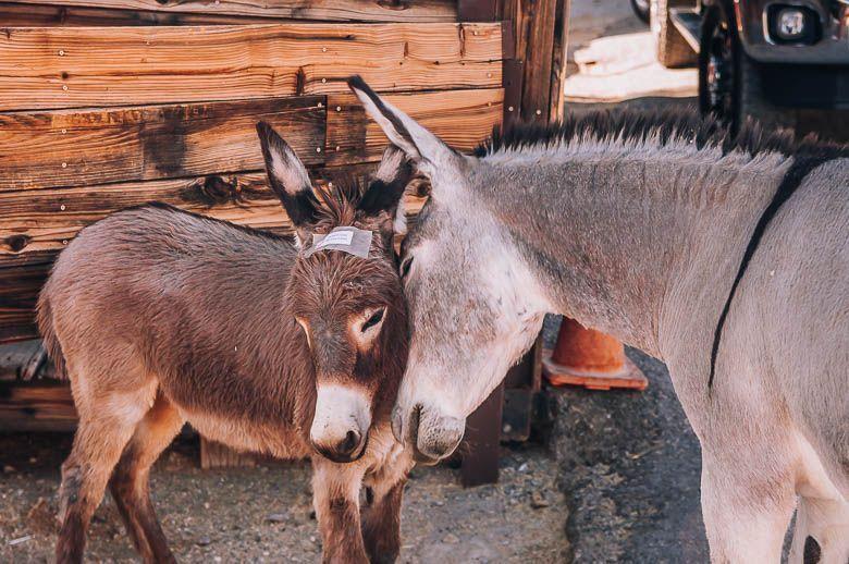 burros oatman ruta 66